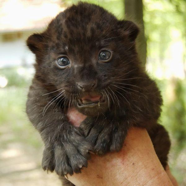 Párducbébi született a Miskolci Állatkertben